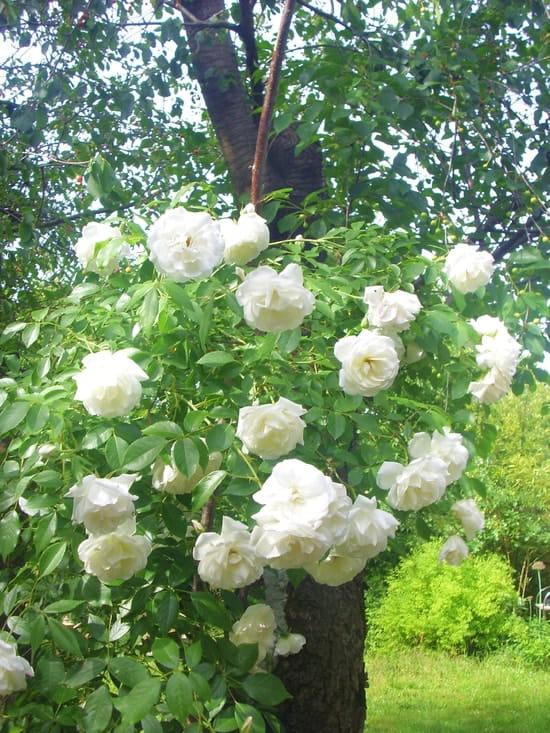 Doit on mettre un voile d 39 hivernage sur des rosiers nouvellement implant s r solu fleurs - Comment mettre un voile d hivernage ...