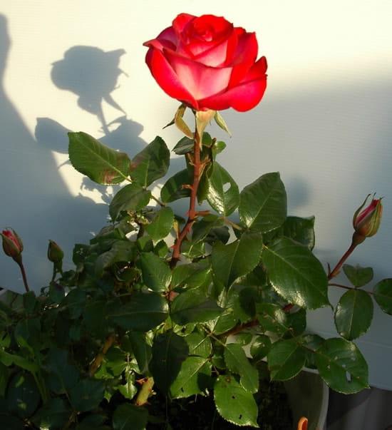 Comment se d barrasser de petites chenilles vertes sur rosiers r solu - Feuilles de rosier qui jaunissent ...