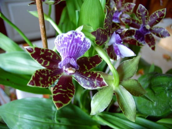 Orchid e plantes d 39 int rieur - Arrosage orchidee d interieur ...