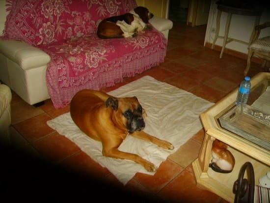 mon boxer mal aux gencives que faire r solu chiens. Black Bedroom Furniture Sets. Home Design Ideas