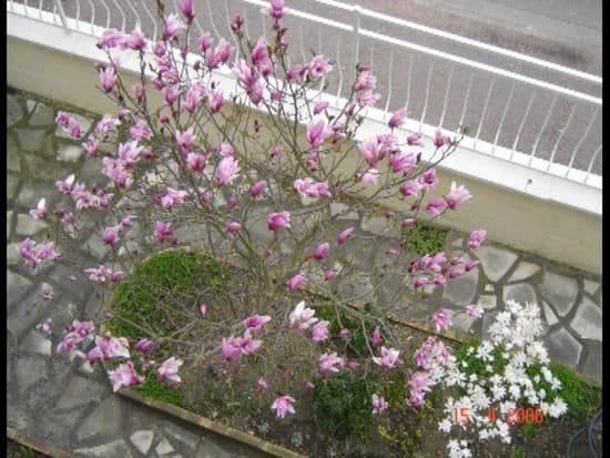 quand tailler mon magnolia r solu. Black Bedroom Furniture Sets. Home Design Ideas