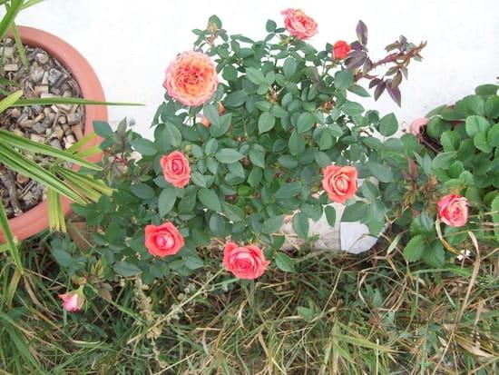 Planter un rosier miniature en potiche r solu fleurs - Quand planter un rosier ...