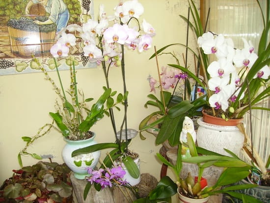 orchidee ne fleurit plus
