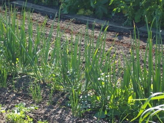 J 39 ai plant des oignons au printemps quand puis je les - Quand semer les oignons ...
