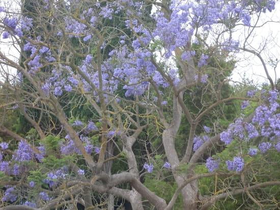 quel est le nom de cet arbre aux fleurs bleues r solu. Black Bedroom Furniture Sets. Home Design Ideas