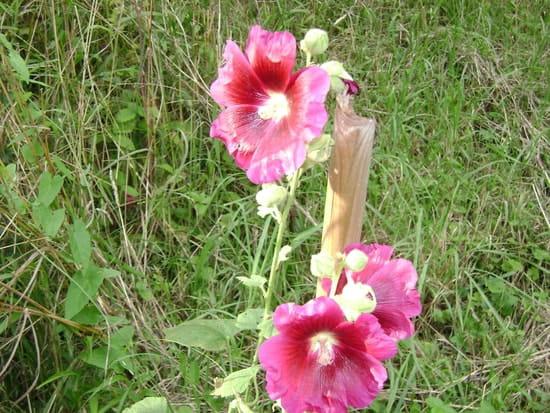 Peut On Se Servir Des Graines De Roses Tremieres Pour En Avoir D