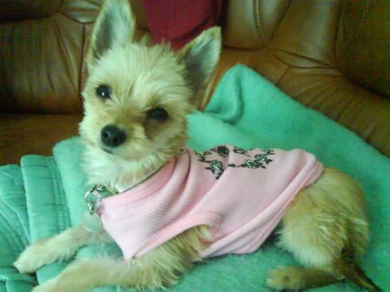 Qui a un mâle Chihuahua pour faire des petits ? - Chiens