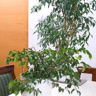 quelle est la plus belle plante d 39 int rieur r solu plantes d 39 int rieur. Black Bedroom Furniture Sets. Home Design Ideas