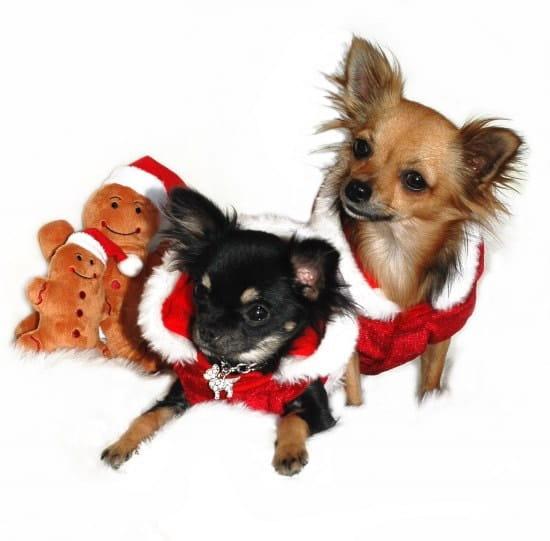 Qui Possède Des Chihuahuas Et Que Pensez Vous De Cette