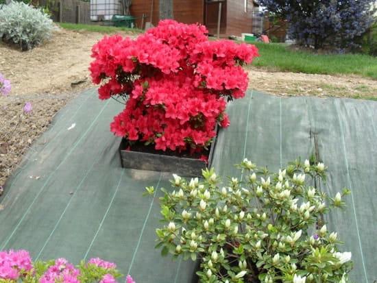 quand planter les lis et les h morocalles r solu fleurs. Black Bedroom Furniture Sets. Home Design Ideas