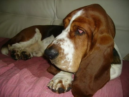 bonjour qui aime le basset hound un grand coeur sous de grandes oreilles r solu chiens. Black Bedroom Furniture Sets. Home Design Ideas