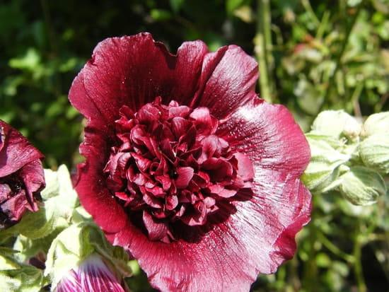 Quand doit on semer les graines de roses tr mi res - Semer roses tremieres septembre ...