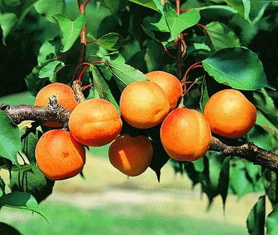 peut on tailler les abricotiers en janvier r solu potager fruits aromatiques. Black Bedroom Furniture Sets. Home Design Ideas