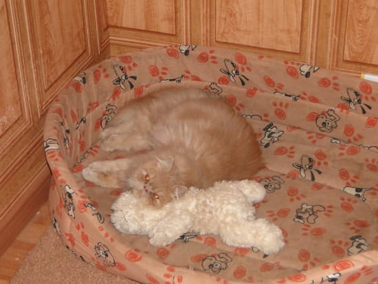 Comment r cup rer le pedigree de mon persan chats - Comment eloigner les chats de mon jardin ...