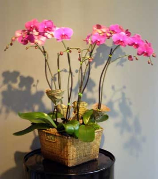 orchidee vanda perd ses fleurs